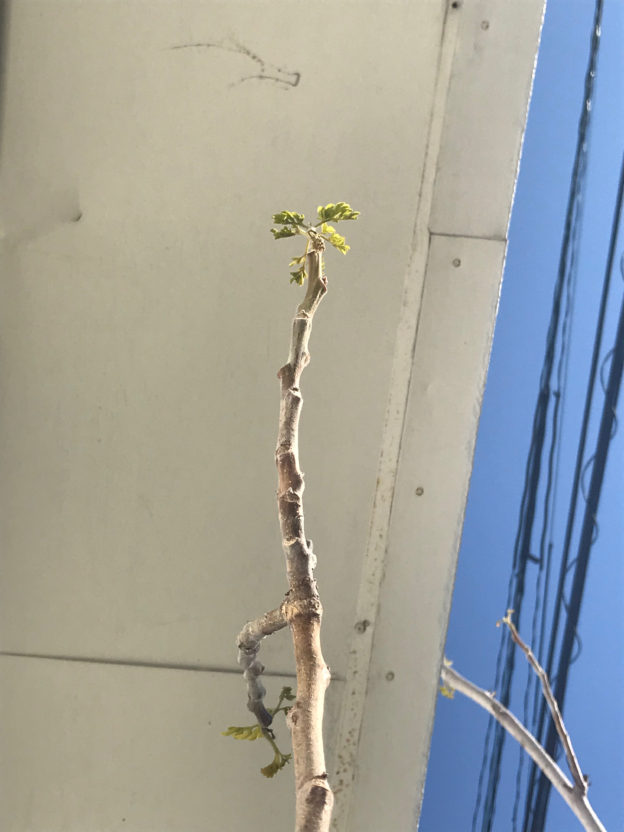 モリンガの新芽